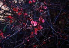 Japonica Far Away, Color Themes, Beautiful Flowers, My Arts, In This Moment, Photo And Video, Inspiration, Berry, Frozen