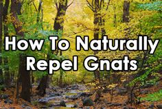 How To Naturally Repel Gnats with just Essential Lemon Oil.   NOTE:  You will need to apply the Lemon Oil at least every other day around the rim of the potted plant for this to really work, because the Lemon OIl essence, I have found, wears off fairly quickly.