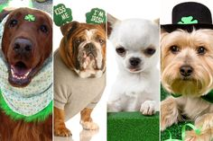 17 Dogs Rockin' Adorable St. Patrick's Day Costumes