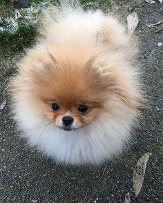 Tiny Pom...So cute!! - Tap the pin for the most adorable pawtastic fur baby apparel! You'll love the dog clothes and cat clothes! <3