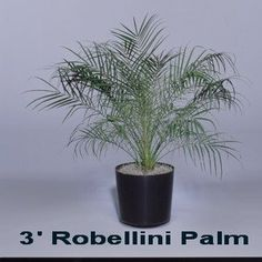 Robellini Palm - Expo Ease Plant Services Robellini Palm, Palm Trees, Plant Design, Plant Decor, Special Events, Plants, Palm Plants, Planters, Plant