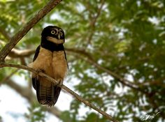 Spectacled owl (Pulsatrix perspicillata) in Costa Rica. Photograph by Edgar Mendez Vargas.