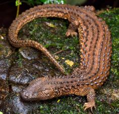 """rhamphotheca: """" Collectors' trade threatens 'Holy Grail' of the reptile world An earless species of monitor lizard from Borneo has suddenly erupted into the international trade among pet keepers and. Wild Animals Pictures, Animal Pictures, Geckos, Reptiles And Amphibians, Mammals, Small Lizards, Monitor Lizard, Borneo, Animals And Pets"""
