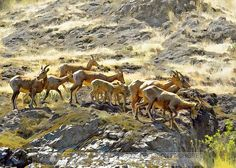 big horn sheep in hells canyon in oregon