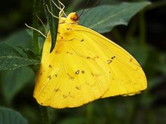 sulphures butterfly pictures