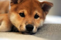 Shiba Inu puppy! These dogs are my absolute favorite. So cute! <3