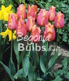Tulip Jenny is a pretty apricot-pink single early tulip variety. Tulip Jenny grows 12-18 inches tall and is the earliest flowering tulip variety!Bulb Size: Large (12 cm and up)