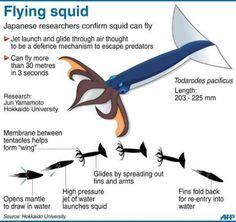 Neon flying squid