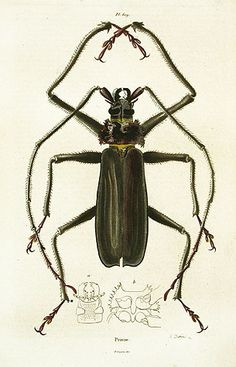 Prione Reg Price: $45 Sale Price: $20 Guerin Mammals Natural History Prints 1836. #insects