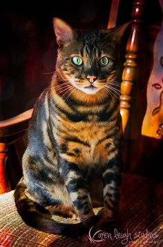 Leo - Marble Bengal (My kids cat)
