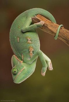 CHAMELEON....fascinating....depending on species - can grow to 18 inches long....easily stressed...not for beginners....can be tricky to care for....should be housed individually