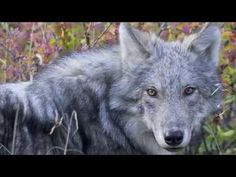 Wolf Awareness Inc. – Research, Education, Conservation