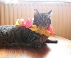 Our little friend is enjoying the Samba-Festival this weekend! 🎶 #coburg #samba #cat #hawaii #kitty #flower #sun #sweetcat #funnycat
