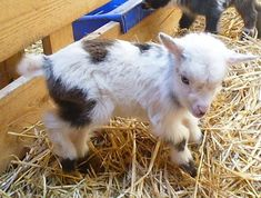 pet nigerian dwarf goats - Bing Images and runescape osrs bloodveld, pets and cambodian language translator. Zoo Animals, Cute Baby Animals, Animals And Pets, Funny Animals, Tiny Goat, Miniature Goats, Nigerian Dwarf Goats, Cute Goats, Baby Goats