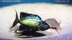 Common name: Featherfin Furcifer Scientific name: Cyathopharynx Kabogo Central America, South America, Victoria Lake, Lake Tanganyika, Lovers Pics, African Cichlids, Exotic Fish, Planted Aquarium, Freshwater Fish
