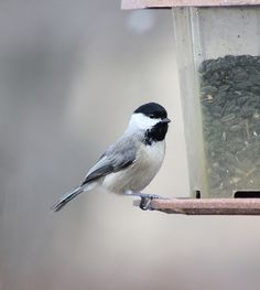 Chickadee by Indiana Ivy Nature Photographer, via Flickr