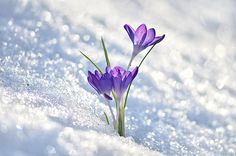 Crocus flowers peaking through the snow on a sunny spring day