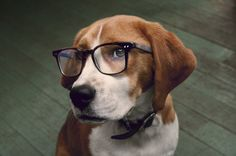 Smart beagle, wish they cal all be like this. Cute Beagles, Cute Puppies, Beagle Breeds, Armadura Cosplay, Bull Terrier Dog, Hound Dog, Adoptable Beagle, Beagle Puppy, Dog Rules
