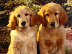 Golden retrievers.