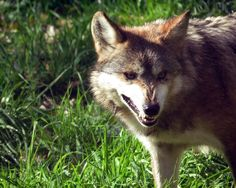 such sharp teeth you have, wolf. (canis lupus baileyi)