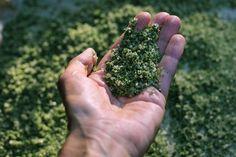 Objavte zelenú soľ. Má bohatšie zloženie ako himalájska! | Záhrada.sk Korn, Parsley, How To Dry Basil, Herbs, Herb, Spice, Grains