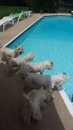 Our Westies do the same thing...who's the first to jump in!??