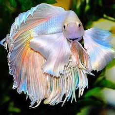 """Fish on Instagram: """"Look at those fins! 😍 Have you ever seen a Betta so eye catching? . 💧Share this with a friend who would love it! . 📸 Credit unknown. Do…"""" Pretty Fish, Beautiful Fish, Beautiful Sea Creatures, Animals Beautiful, Rare Animals, Animals And Pets, Animals Sea, Betta Fish Types, Betta Fish Care"""