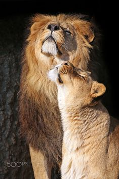 Lion & Lioness by Edwin Butter