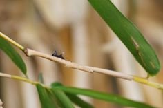 Ant on Bamboo Shoots