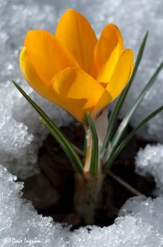 Crocus in a snow.