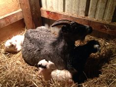 Harriet and her new goat baby triplets
