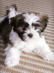 Maltese/Shih Tzu mix.  Exactly what Beasley looked like as a puppy.  Except he's only black and white.