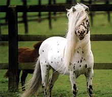 Falabella  ~From south america  ~average full height onle 28-34 inches  ~smart and easily trained