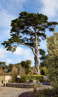 San Francisco Botanical Garden-Escape to a unique, 55 acre urban oasis of extraordinary beauty. Free entry sometimes! Monterey Cypress, Tree Structure, Herbal Plants, Golden Gate Park, Unique Trees, Cypress Trees, Tree Seeds, San Fransisco, Trees And Shrubs
