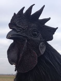 Pure Ayam Cemani Hatching Eggs My breeding stock consists of Greenfire Farms and Feather. Bantam Chickens, Pet Chickens, Raising Chickens, Chickens Backyard, Rare Chicken Breeds, Chicken Breeds For Eggs, Bantam Chicken Breeds, Chicken Coop Large, Black Chickens