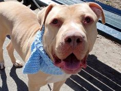 SAFE - 04/11/15 --- Manhattan Center  PACQUIAO aka LEMMY - A1027597 *** EXPERIENCED HOME *** HELPER DOG ***  MALE, TAN / WHITE, AMERICAN STAFF / MASTIFF, 2 yrs STRAY - ONHOLDHERE, HOLD FOR ID Reason STRAY Intake condition EXAM REQ Intake Date 02/09/2015  Main thread: https://www.facebook.com/photo.php?fbid=961607817185431