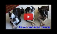 They learned to Cross their Paws! Three amazing Boston Terriers filmed after they learned a New Trick! Paws Crossing Trick!