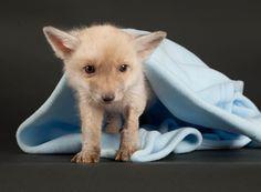 An albino fox - aDORable!  :D