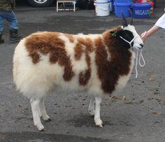 Fluffy Jacob sheep
