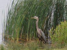 Birds at my feeder on pinterest pennsylvania westerns for Blue marsh lake fishing