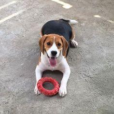 Great Beagle