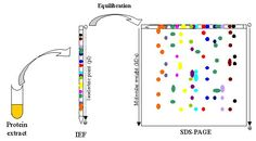 In 1-D electrophoresis, the proteins separated in one dimension will lie along a lane, and then the molecules are spread out across in the 2-D gel. Isoelectric focusing (IEF) and Sodium Dodecyl Sulfate Poly Acrylamide Gel Electrophoresis (SDS-PAGE) are preferred in 2-DE separation