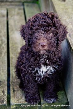 Lagotto Romagnolo / Romagna Water Dog