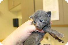 Asheville, NC - Domestic Shorthair. Meet J-Bird, a cat for adoption. http://www.adoptapet.com/pet/11596446-asheville-north-carolina-cat