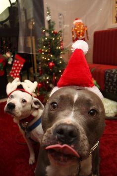 Shared by Kathy Jones - Our rescue pit bulls Bovis And Brutus wish all happy holidays. They may have eaten Santa's cookies just before this photo was taken!