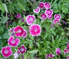 Dianthus   (pinks)  Perrenials