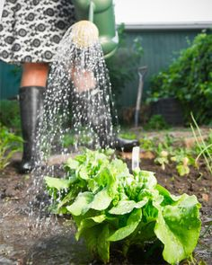 Tips to grow your own lettuce garden  .