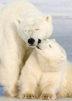 Best Polar Bear Photos You Never Seen Before - Animals Comparison Animals And Pets, Baby Animals, Funny Animals, Cute Animals, Baby Giraffes, Baby Polar Bears, Bear Photos, Love Bear, Tier Fotos