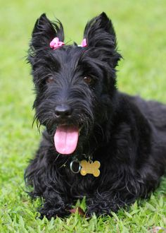 Abbey the Scottish Terrier Pictures 715000