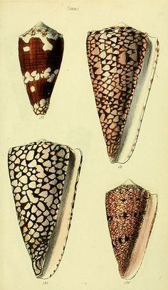 Conidae, seashells, conchological illustrations.